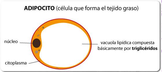 Adipocito